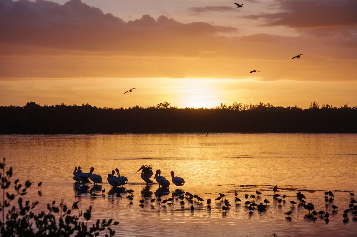 Sunset with pelicans in water