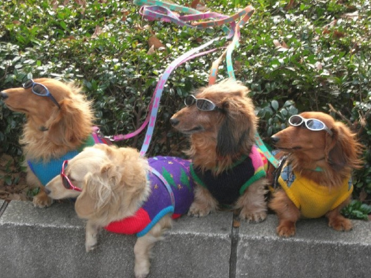 Dogs wearing sweaters and sunglasses